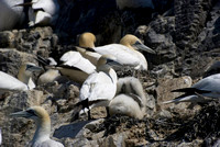 Bass Rock Gannets - chick on the nest