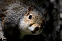 Grey Squirrel Portrait