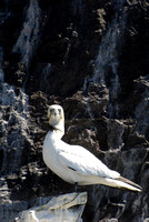 Tangled Bass Rock Gannet
