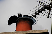 Rook on a chimney