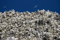 Bass Rock Gannets - crowded cliff